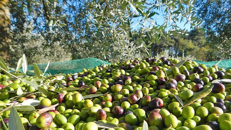 Coltivazione olive e rischi per la sicurezza: nuovo volume INAIL